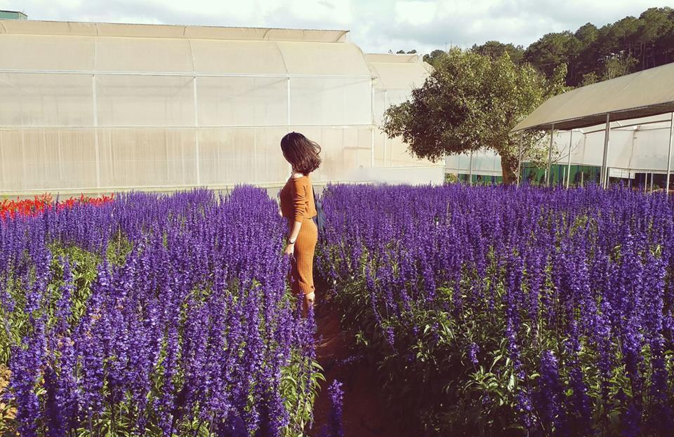 Xuất hiện cánh đồng hoa Lavender Đà lạt