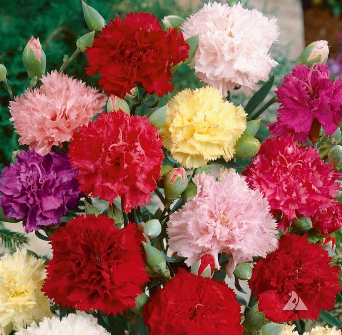 Ý nghĩa loài hoa cẩm chướng tặng những người thân yêu bên cạnh bạn