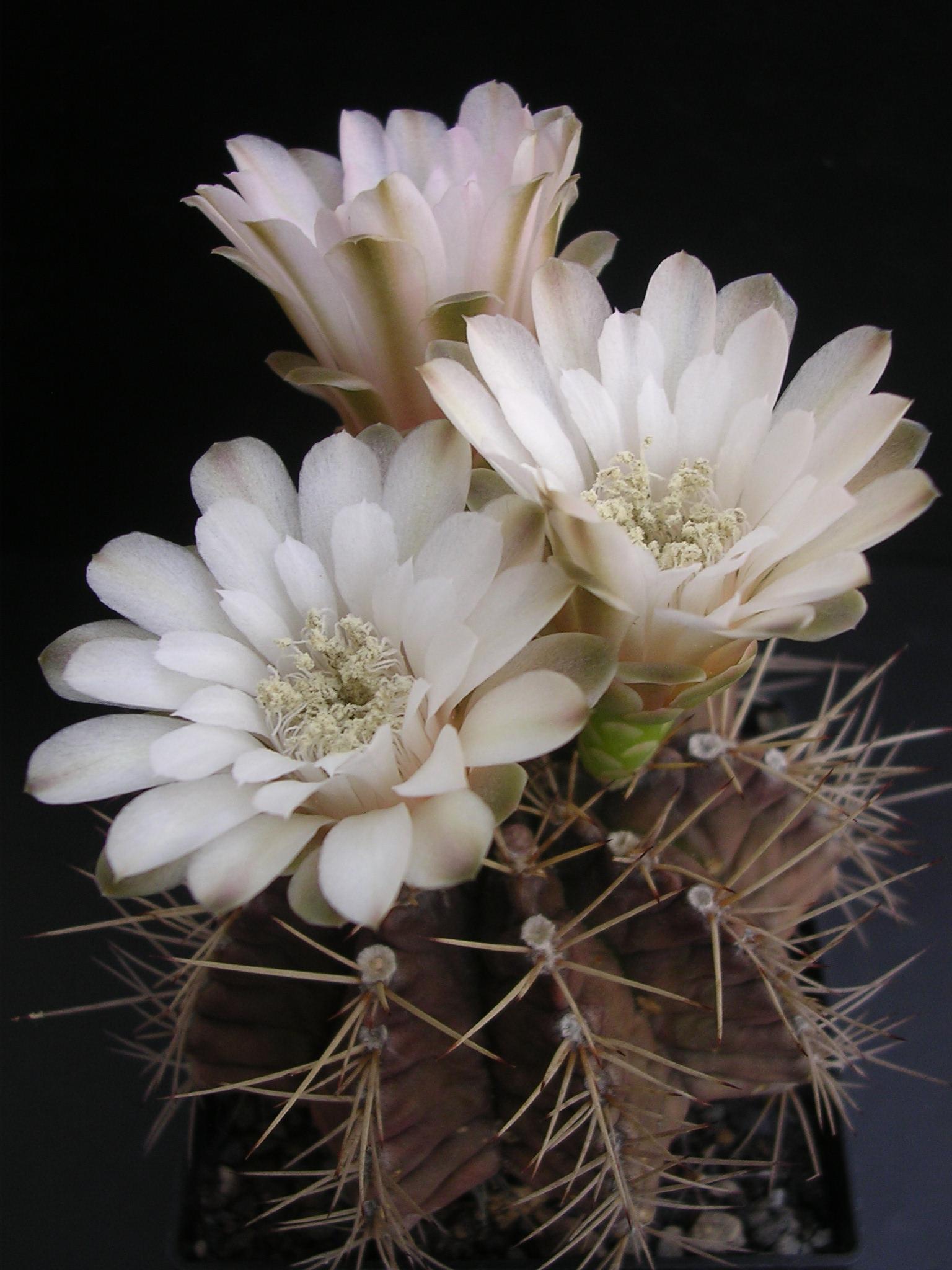 Ý nghĩa xâu sắc của hoa xương rồng