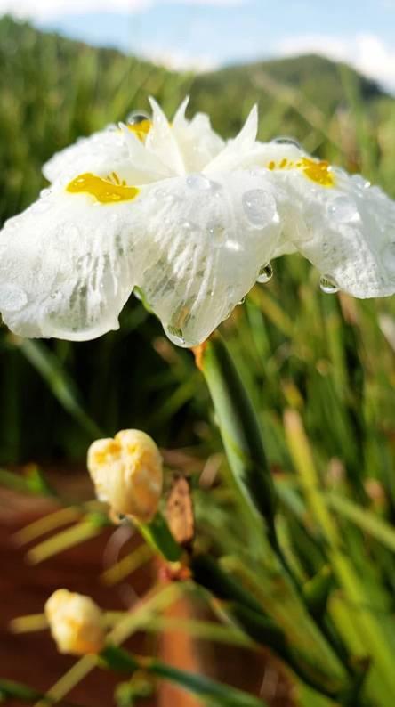 Hình nền điện thoại hoa tulip