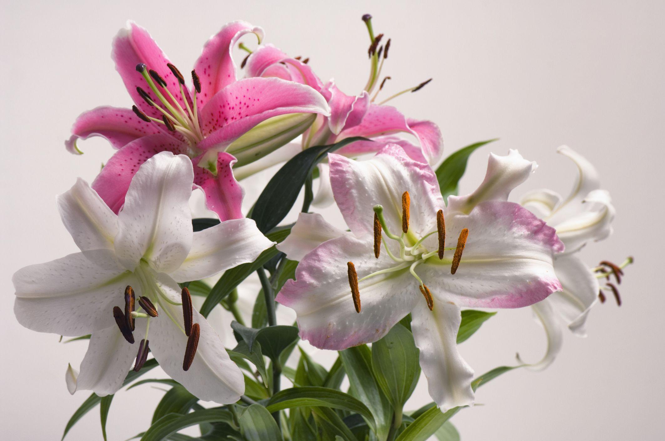 Cách trồng hoa bách hợp