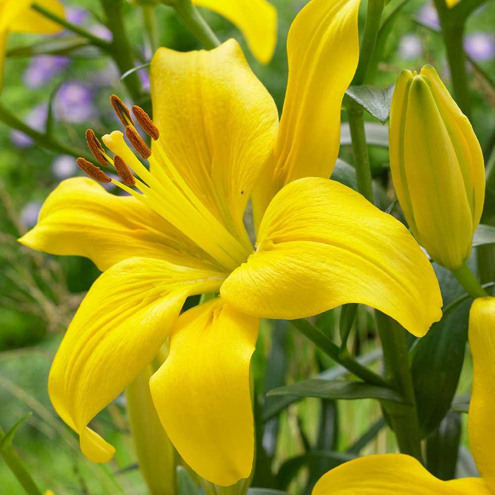 Chiêm ngưỡng vẻ đẹp của hoa bách hợp đà lạt