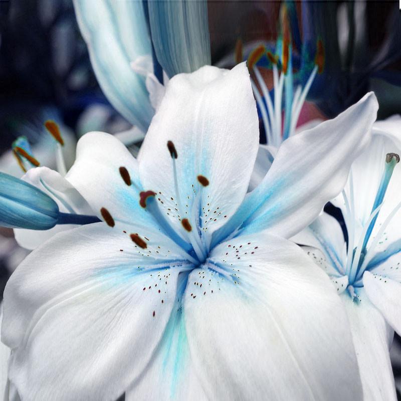 Chiêm ngưỡng vẻ đẹp của hoa Bách hợp