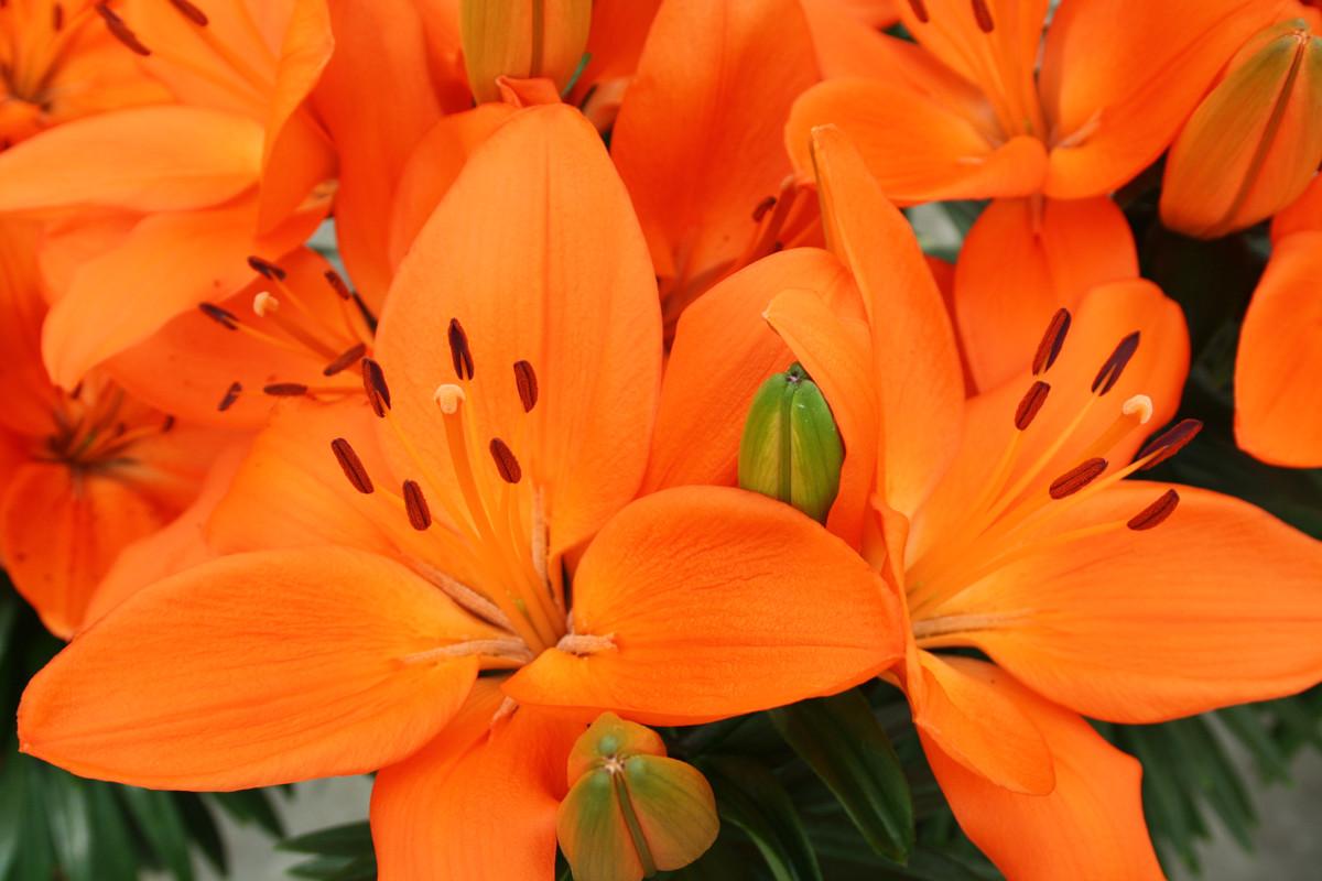 Hoa bách hợp màu cam nở đẹp nhất