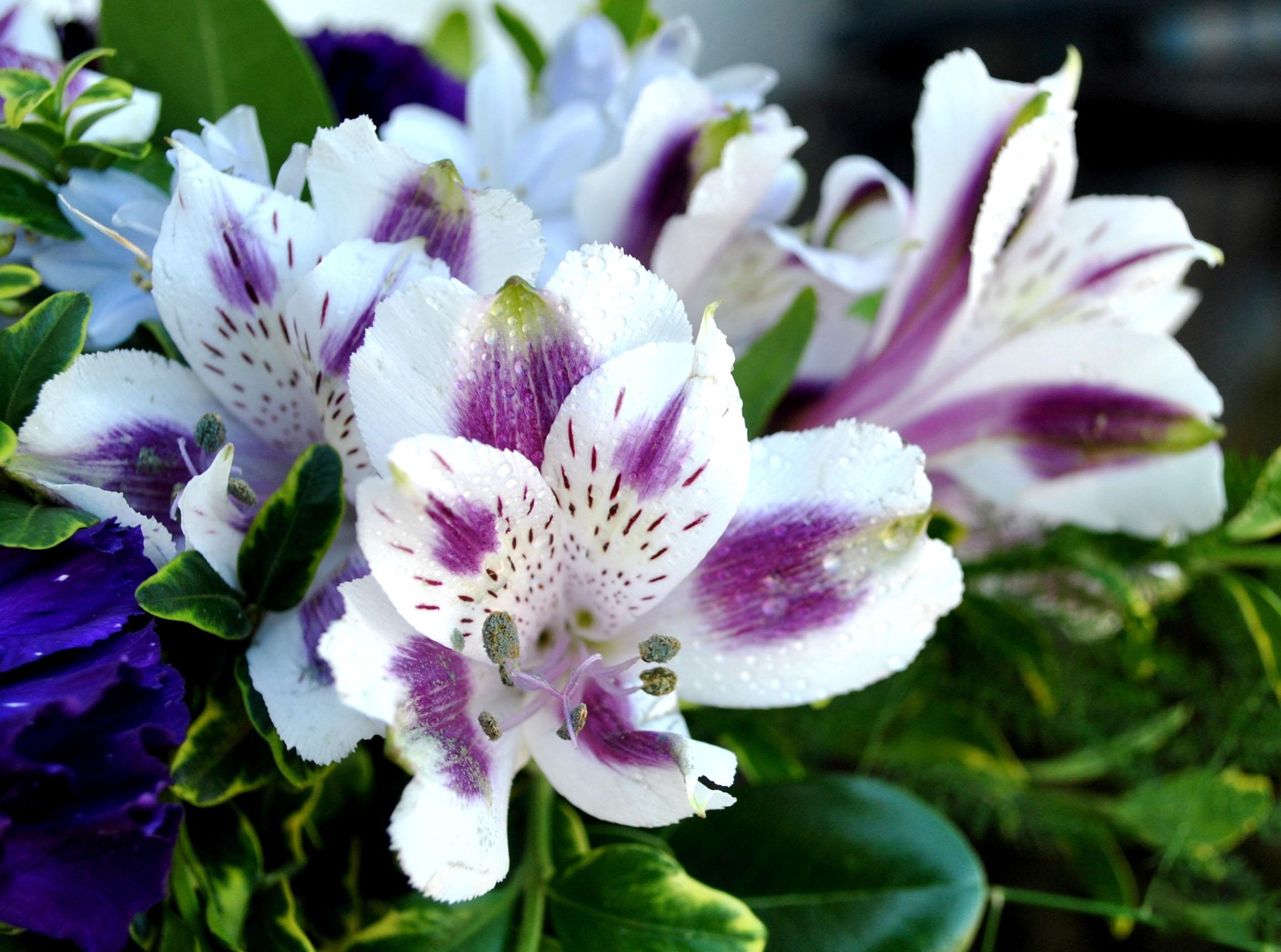 Hoa bách hợp màu tím có ý nghĩa gì