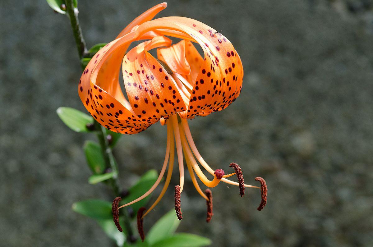 Kĩ thuật trồng hoa Bách hợp