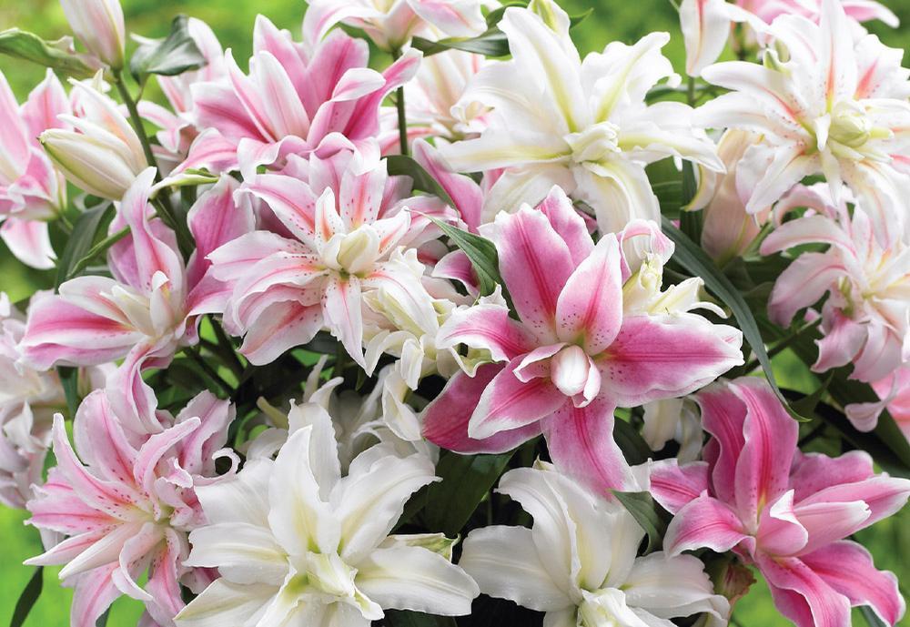 Mua sỉ lẻ hoa bách hợp