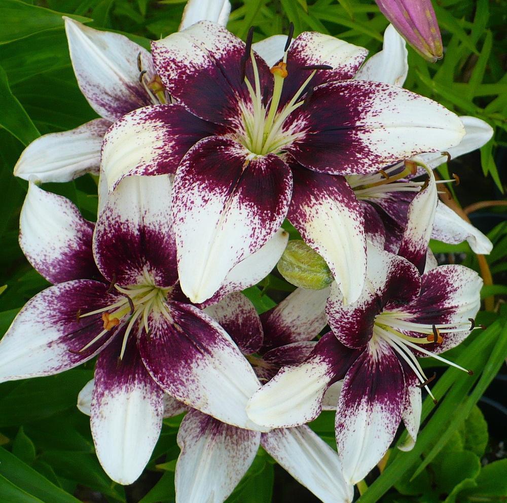Những hình ảnh hoa Bách hợp đẹp nhất
