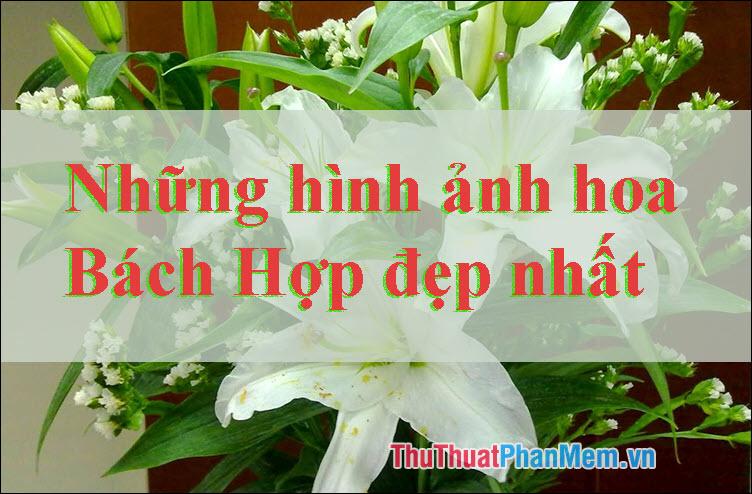 Hoa Bách Hợp đẹp - Những hình ảnh hoa Bách Hợp đẹp nhất
