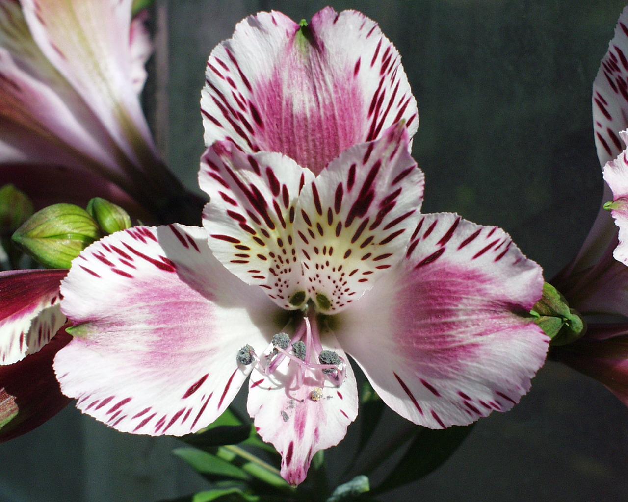 Tải hình ảnh hoa bách hợp về máy