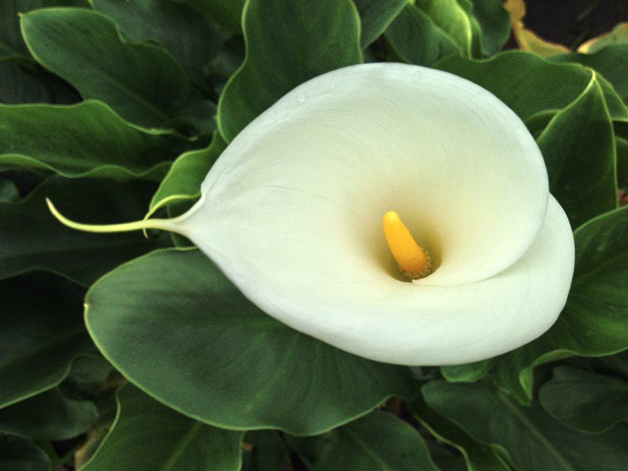 Tặng hoa bách hợp hoa loa kèn có ý nghĩa gì
