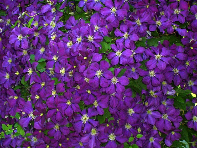 Cây hoa nhỏ màu tím đẹp