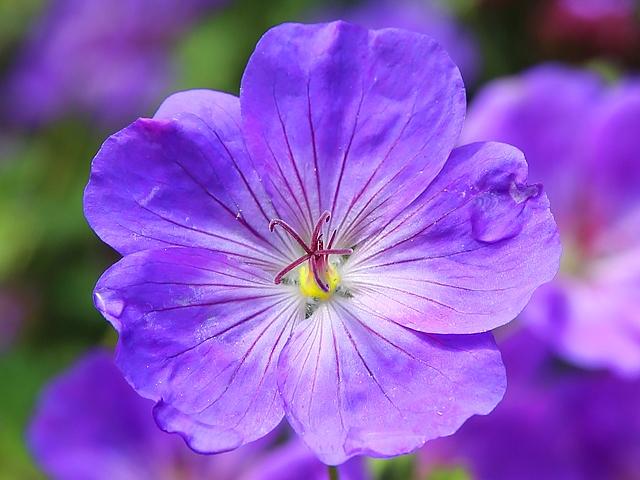 Hình ảnh bông hoa màu tím đẹp