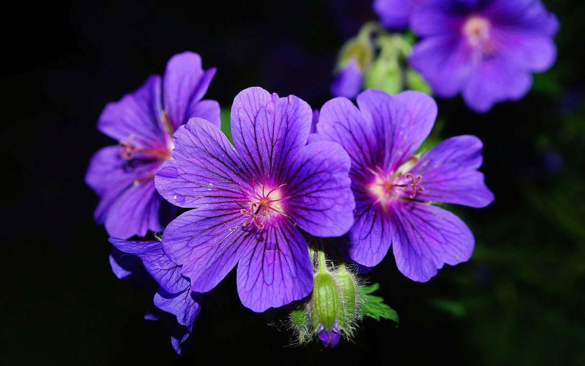 Hình ảnh bông hoa tím đẹp