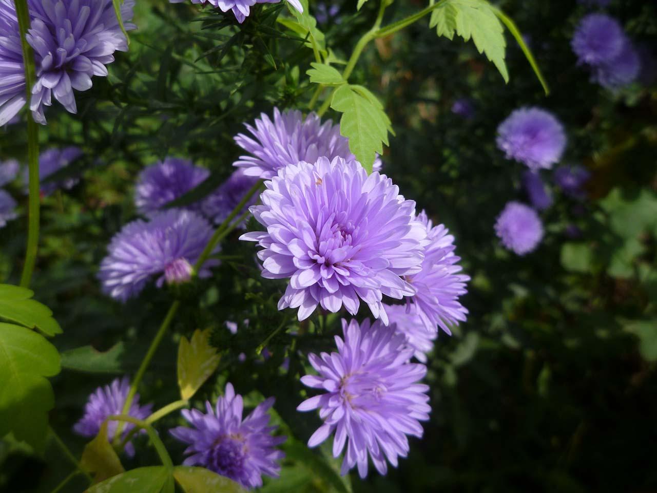 Hình ảnh cây hoa màu tím đẹp