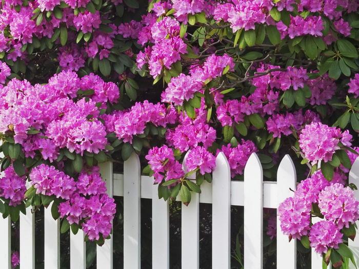 Hình ảnh hàng rào hoa tím