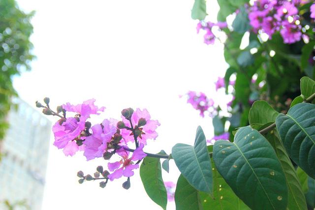 Hình ảnh hoa bằng lăng tím