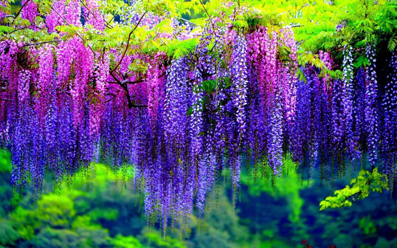 Hình ảnh hoa đằng tử tím
