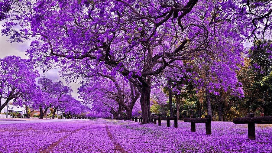 Hình ảnh những cây hoa tím đẹp