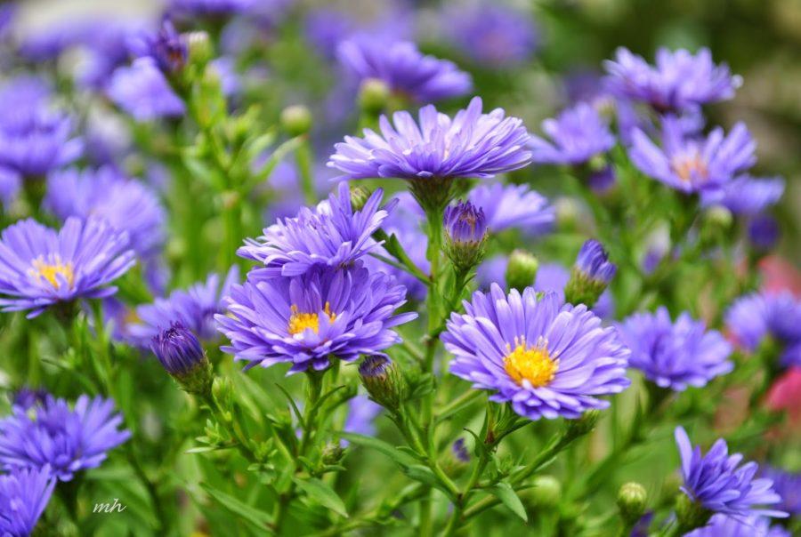 Hình ảnh vườn hoa tím đẹp