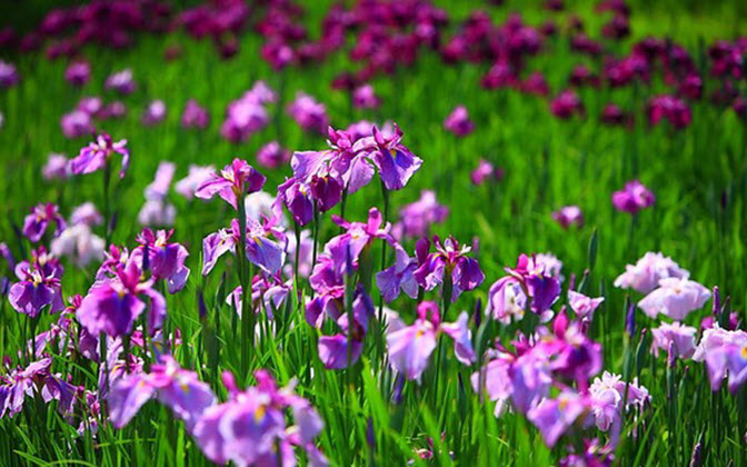 Hình ảnh vườn hoa tím