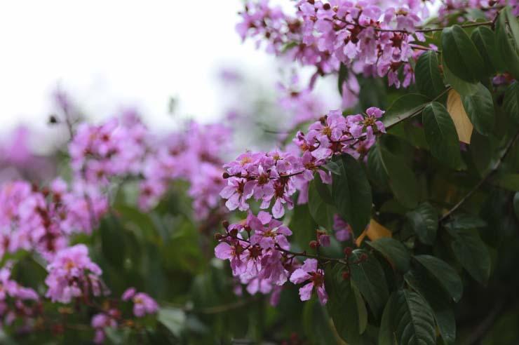 Hoa bằng lăng tím đẹp