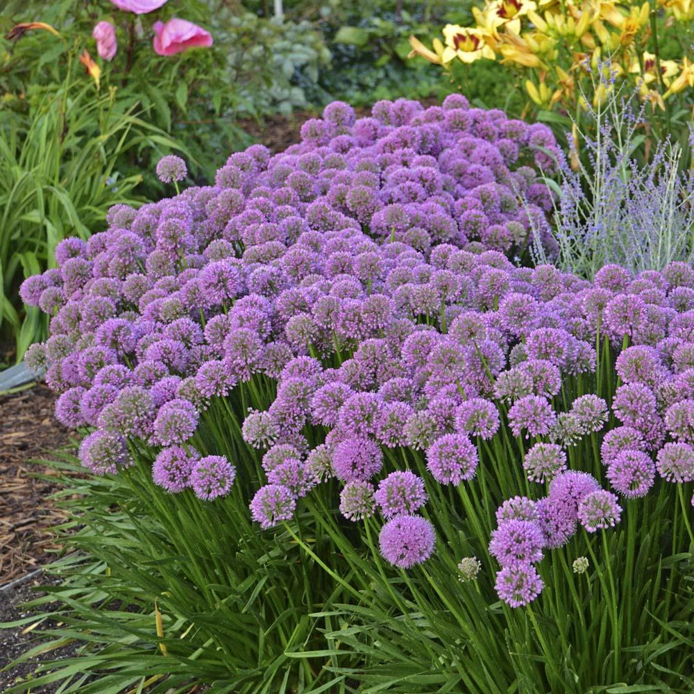 Hoa đà lạt màu tím