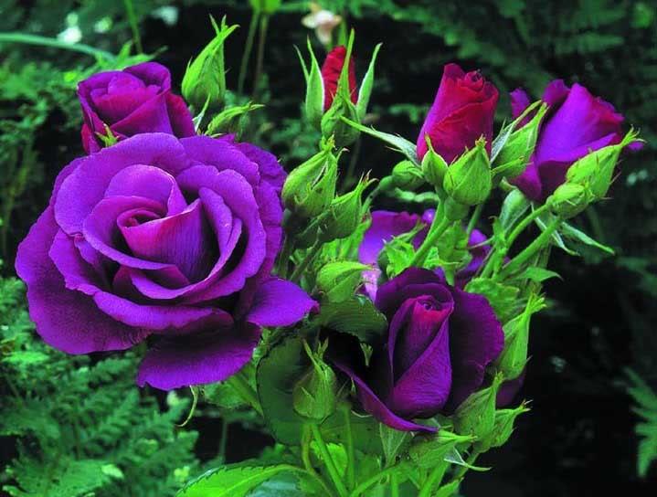 Hoa hồng màu tím đẹp