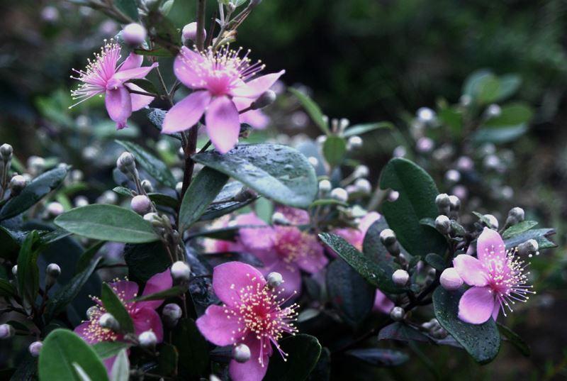 Hoa sim màu tím