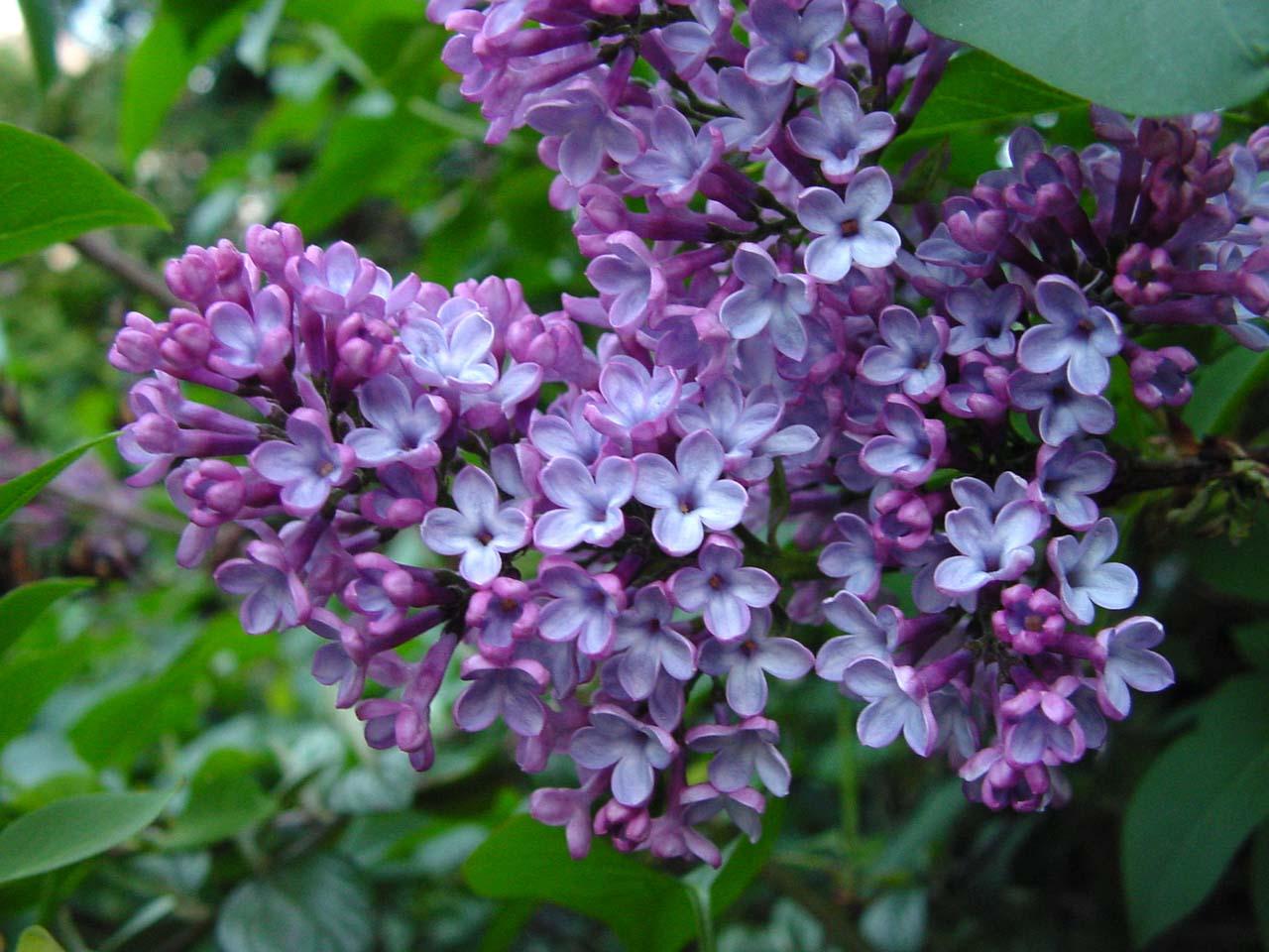 Hoa tử đinh hương tím đẹp
