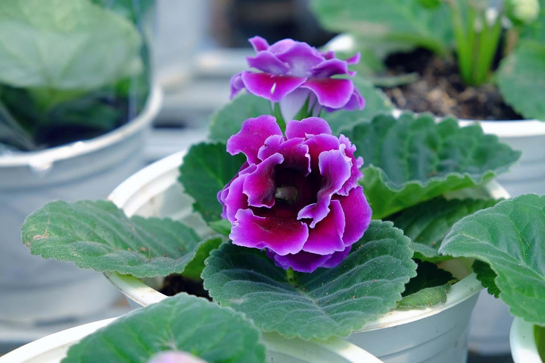 Loài hoa màu tím đẹp