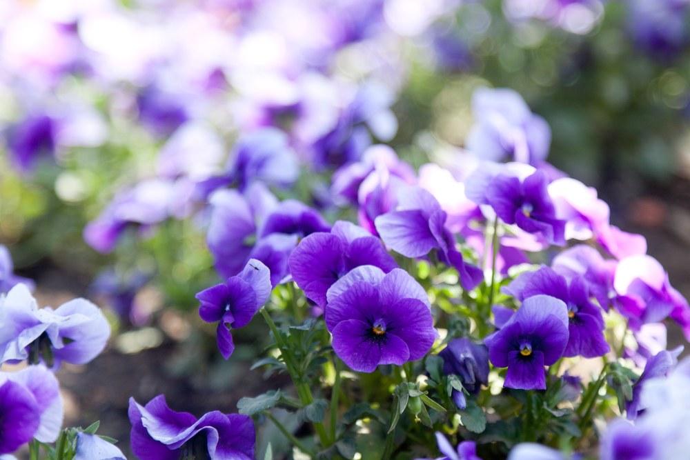 Những bông hoa màu tím đẹp