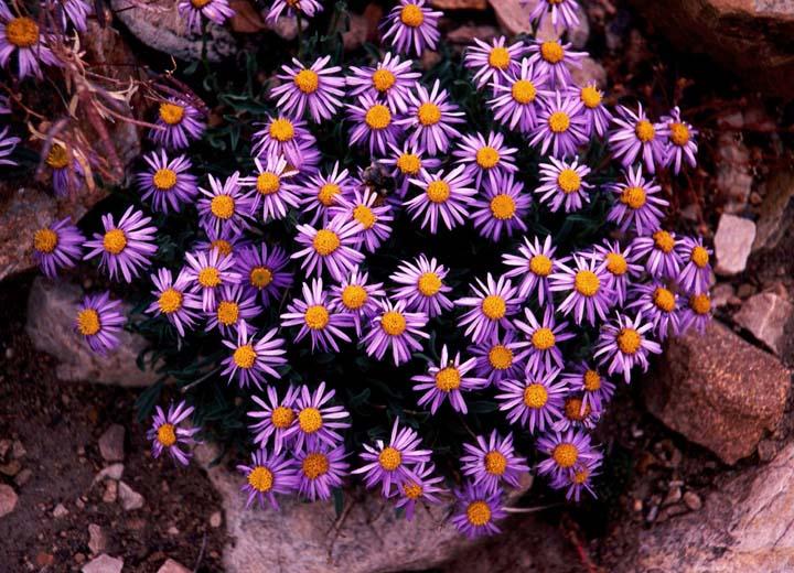Những loài hoa nhỏ màu tím đẹp