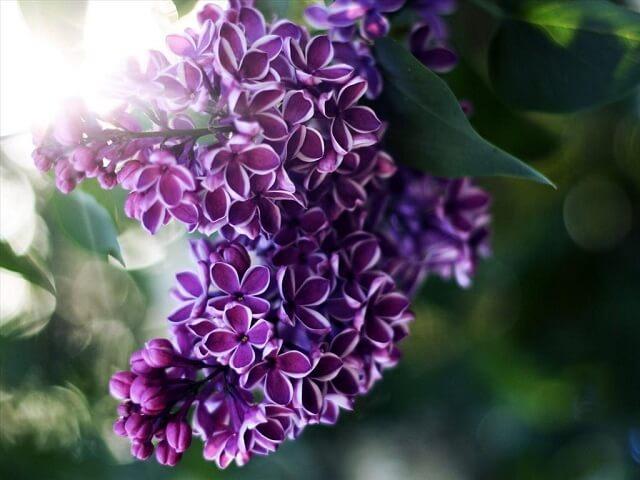 Những loài hoa tím đẹp