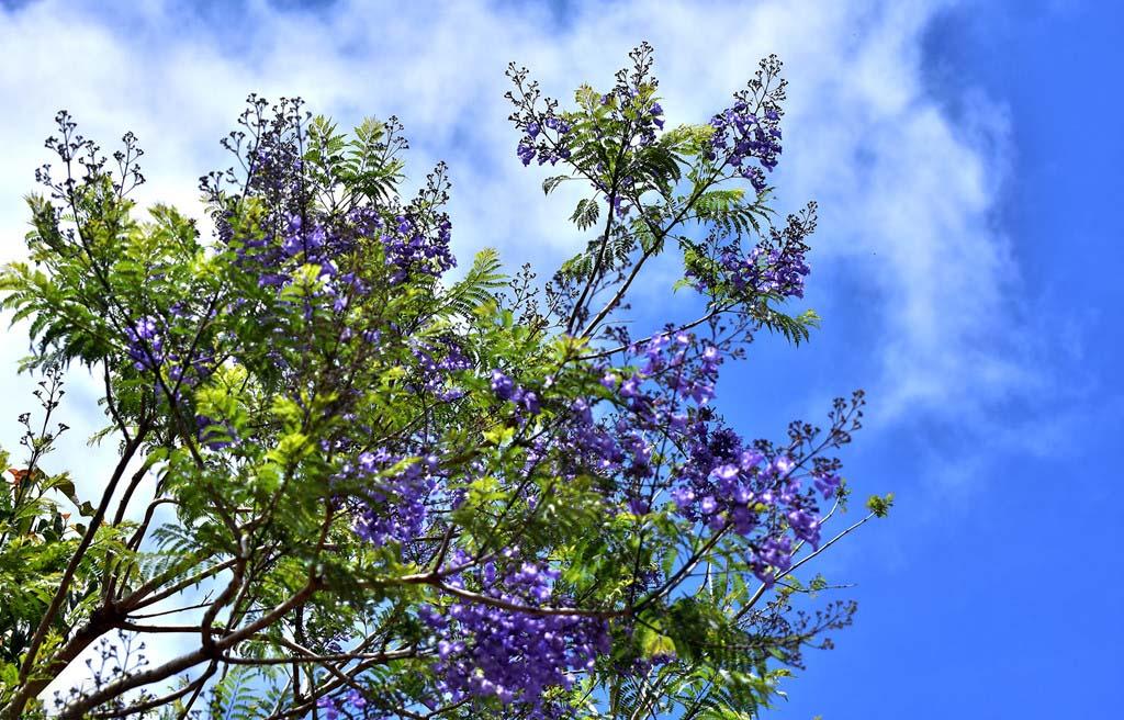 Rừng hoa sim màu tím đẹp