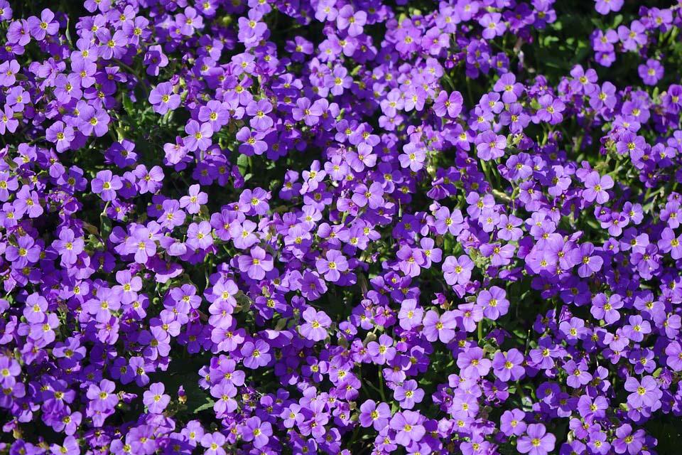Vườn hoa màu tím đẹp
