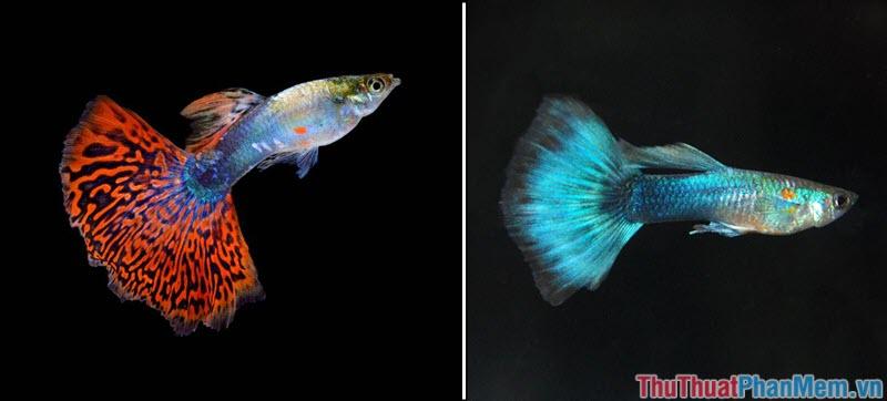 Cá bảy màu - 2