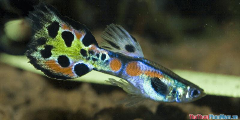 Cá bảy màu - 1