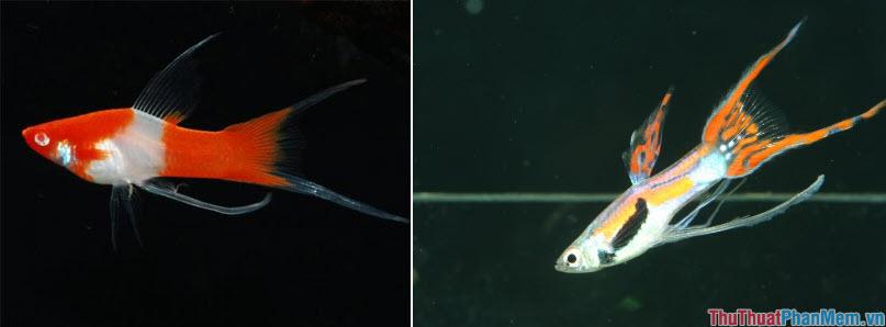 Cá đuôi kiếm - 2