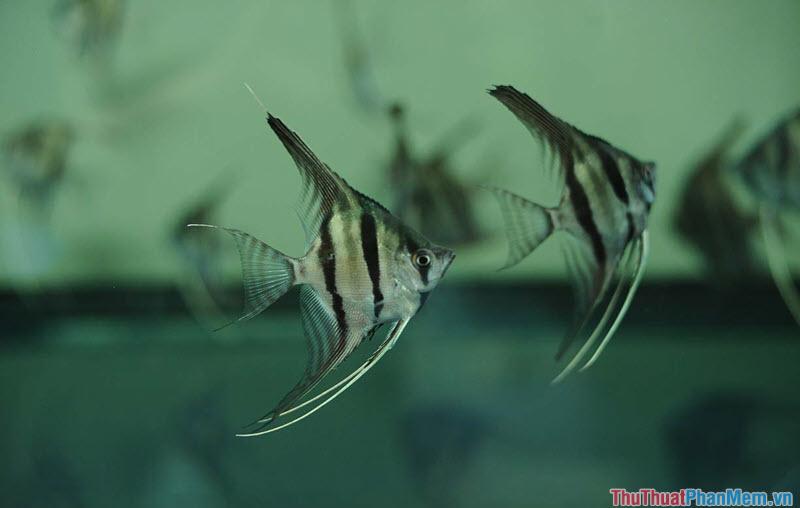 Cá thần tiên - 1