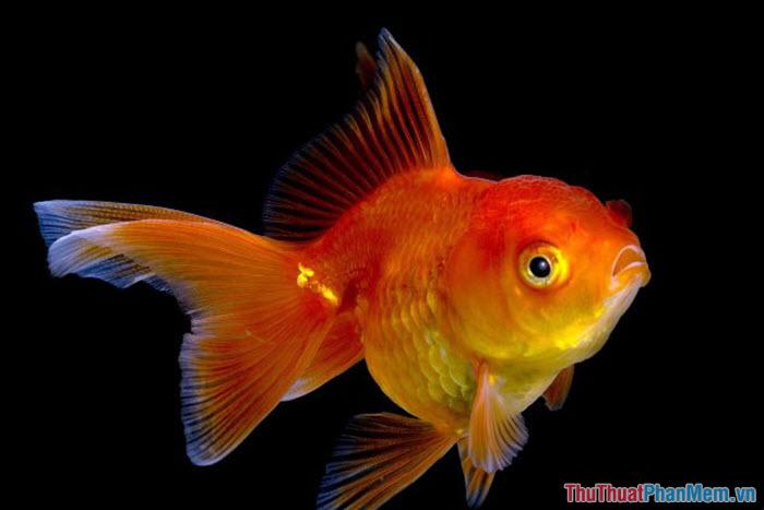 Cá vàng - 1