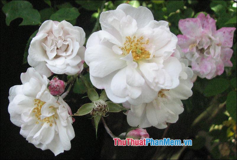 Hoa hồng Ayrshire - 1