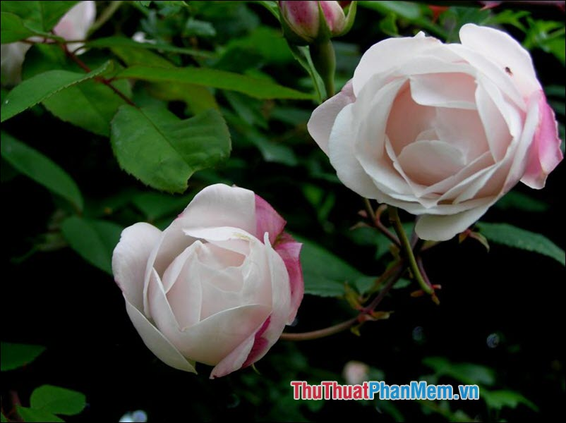 Hoa hồng Ayrshire - 2