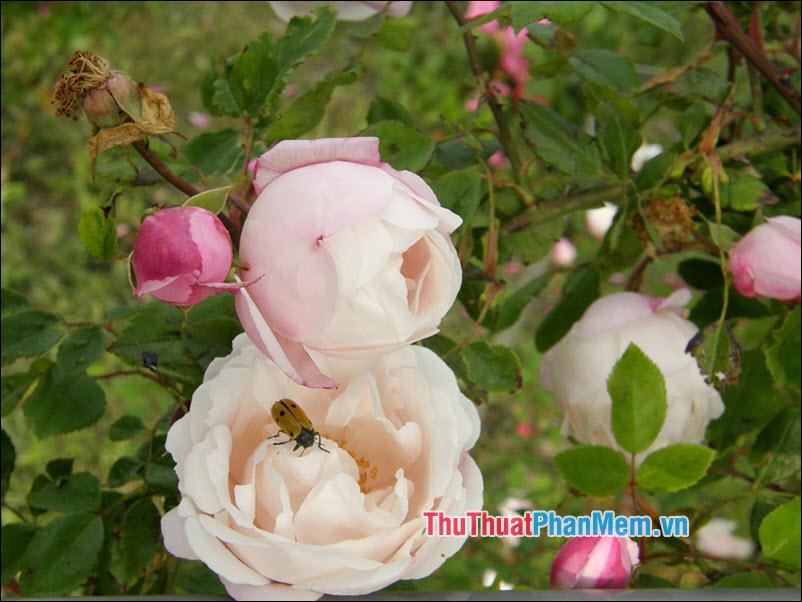 Hoa hồng Ayrshire - 3