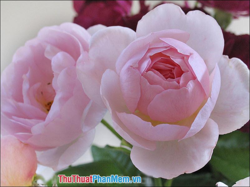 Hoa hồng Ayrshire - 4
