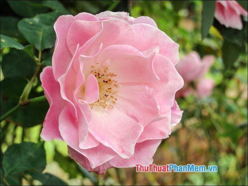 Hoa hồng Ayrshire - 5