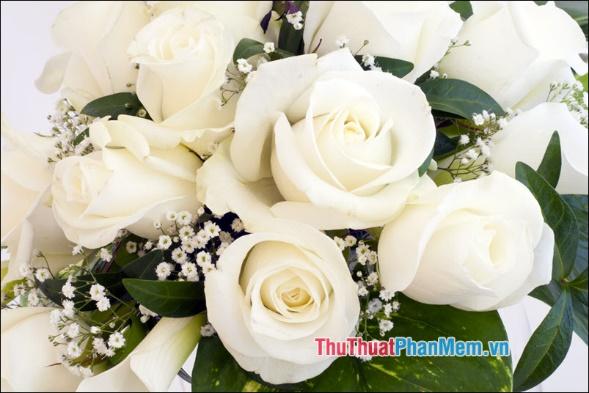 Hoa hồng blushers - 1