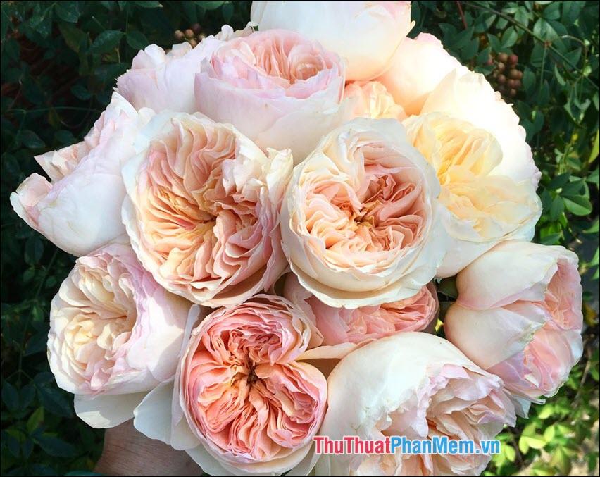 Hoa hồng blushers - 2