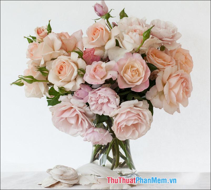 Hoa hồng blushers - 3