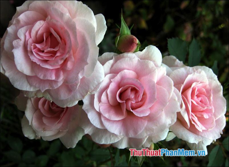 Hoa hồng blushers - 5